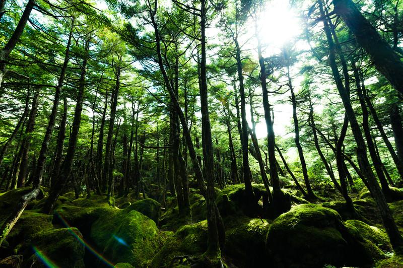 白駒原生林に差し込む光