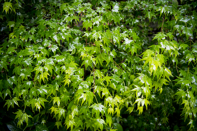 雨の日の京都詩仙堂、青もみじ。雨に濡れて葉の緑がより一層美しい。