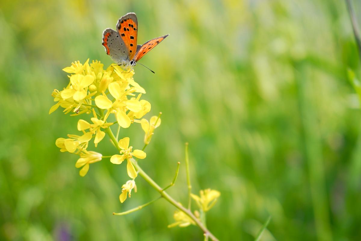 α6400+パワーズームレンズキットで撮影した菜の花と蝶
